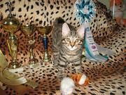Курильские бобтейлы - котята рысята
