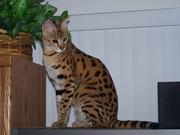 TICA Зарегистрированные саванны котята