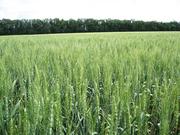 Семена (элита) озимой пшеницы Писанка