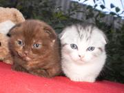 Шотландские вислоухие котята!
