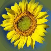 гибридные семена  подсолнечника