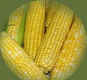 семена гибридов кукурузы