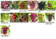 саженцы винограда японско-китайской селекции