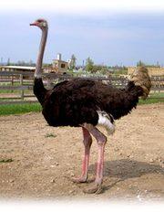 Североафриканские страусы.